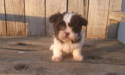 Adorable Shihchon puppies. blk/ or chocolate and white. Non shed hypo allergenic. great family pets. Raised with kids and other animals and very out going. up to date on all vaccinations, dewormings, health guaranteed and a puppy starter package included.