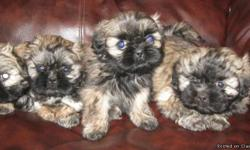BEAUTIFUL ShihTzu pups!! Three females. Tri colored. Beautiful soft luxious coats. They are very playful and also smart. And LOVE kids. Will be a great pet for a family or an elderly couple or single person! Crate-trained, paper-trained, dewormed and up