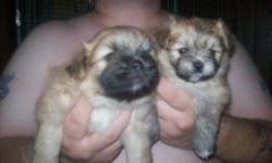 1 Female 1 Male , both are tan 1 with little whtte, other one little black markings, they are very playful and friendly, Non shedding, Just Taking deposit , born 7/11/11 for more info call 586 2228624
