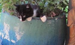 We are looking for loving permanent home with a garden for a charming outdoor/indoor kitten. Silvester is a male ?Tuxedo? kitten with a roguish white mark on his nose. He is a gentle charmer who loves to play in the house and garden and cuddles lots too.