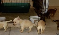 A basketfull, stockingful or 1,  your choice - small PinniPom puppies 6 weeks on Dec 18, 2012.  cream ones and brown ones, all playful, loving, heart stealing babies. A delightful blend of the best of each breed.    call Jeff at -- or