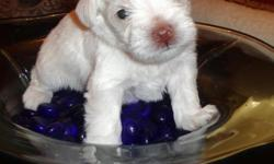 We are not breeders, but have 3 schnauzers, 2 of which accidentally got together. This is a very small pure white male, who is the cutest of the litter.His mother is 9 lbs and dad is 7 lbs. Mom (Cayanne) is the sweetest, gentlest pet I have