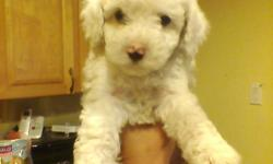 SUPER CUTE LITTLE TINY TOY POODLE PUPPIES! ONLY 2.5MOS OLD WILL BE 5LBS MAX! BEAUTIFULL COLORS MALES AND FEMALES A MUST SEE! THEY HAVE HAD THEIR 1ST SET OF VACCINATIONS AND WILL COME WITH RECORD* CALL OR TXT 323-400-8758WENDY
