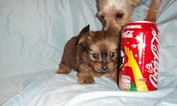 $200-800 **Shipping Avaliable Adorable little tcup and toy puppies are ready for their new homes. They are 8-12 weeks old. I have Tcup yorkiepoo's, Maltipoo's and Chorkies. You can see ALL pics and info on my website. www.maltipoopup.com or CALL