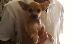 ADORABLE TINY MALE CHIHUAHUA PUPPY. 10 WEEKS OLD.VERY CUTE AND FRIENDLY. LOVES TO PLAY!!! GREAT W KIDS/PETS. FAWN W BLACK ON THE FACE. 1ST SHOTS, WORMED, NAILS TRIMMED, AND SUPPLIES.OWNERS ARE MOVING AND CANNOT KEEP HIM. $350 TO LOVING, RESPONSIBLE,