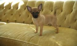 I have Pomeranian/Chihuahua puppies available. Their shots are up to date, and they have beened wormed. Prices start at $275.00 and up. You can contact me at: -- or email me at: sharon.mackin@gmail.com.