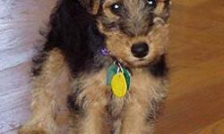 Adorable,Happy and Healthy Welsh Terriers born Sunday August 21st, 2011 will be ready for their new families at the end of October. We are now taking inquiries on our puppies. Two girls and 1 boy will be ready for visitors as soon as their eyes open. To