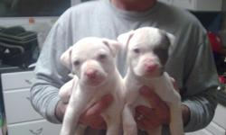 We have some of the most adorable white pitbull puppies you have ever seen. The mother is half RazorsEdge and half Colby, she is solid white with a chocolate nose. And the father is Old Family RedNose and RedBoy, he is solid white with a red patch over