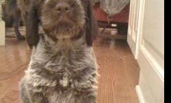 Wirehaired Pointing Griffon Puppies - $900 (Syracuse NY) 315-440-7663 Extremely intelligent. Very, very sweet and eager to please. Outstanding and desirable field dog. Champion American and Canadian bloodlines. Both amazing and very loved parents on site.