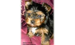 We have Female Yorkie Puppies that are just adorable. They have up to date shot and have been wormed 2 times. They are $500.00 & $550.00 Our precious little girls are spoiled, healthy, rambunctious, intelligent, playful and truly the heart of our home,