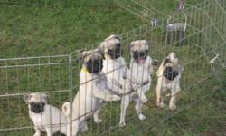 Fawn and Silver Fawn AKC reg. Nothing but the best looking little pug puppies around, Parents on site, very socialized and playful, Guaranteed healthy puppies . Shots up to date . Comes with a One year Genetic health guarantee, plus a reg. 10 day health
