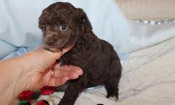 Poodle babies adoriable toy and tea cup sizes , ( Chocolate Black and white . check them out on our website they simply adoriable . health guaranteed Shot's UTD and wormed  $600.   -- or cell  --