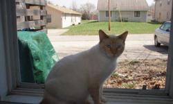 This indoor cat has silky-smooth white/orange hair; likely a blend of Siamese and another breed. He is neutered, still clawed, and believed to be around three years old. He was rescued by my roommate and I after his original owner's home was foreclosed