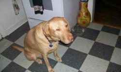 Toby is a 100lb. (fit) 5-1/2 year old AKC Yellow Lab.. Immunizations up to date. Microchipped. Is yellow in color but has the features of a Chocolate. I have owned Toby from the time we was several weeks old. My current living situation is prohibitive in