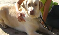 Beautiful adult female lab for adoption. Looking for a great family home for our loving female lab. Re-homing fees will apply. Please call (925) 325-2975