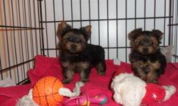Teacups yorkie puppies for free to good homes. Teacups Yorkshire Terriers, Our teacup and toy yorkies for free and have all shots/dewormings up to date, health certificate and health papers, are already vet checked and also come with an additional free