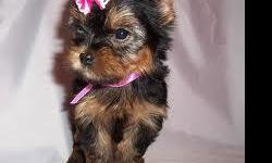 AKC Registered Yorkie Puppies, one boy and one girl, born 7 Dec 11. Available 4 Feb 12. Vet checked and 1st shots. $650, cash only. Rockrimmon area. Parents on-site. e-mail at (homepuppies4all@yahoo.com)