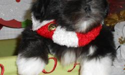 """~~OPEN 7 DAYS~~Credit Cards Welcome. BEST Guarantees. Visitors Welcome: Hug-A-Pup """"THE PUPPY SPECIALIST"""" 4950 W. Irving Park Rd. Chicago,Il. 60641. ( JUST OFF 90/94 ) Please Call: """"Susan"""" -- or"""" --. Gorgeous Males/Females...Shih Tzu puppies."""