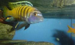 HELLO,I HAVE A BUNCH OF AFRICAN CICHLIDS FOR SALE SIZES RANGE FROM FRY TO 2 INCHES.THEY ARE OB PEACOCKS,HONJI HYBRIDS,AURATUS,DRAGONS BLOOD PEACOCKS AND SOME BLACK CONVICTS.PLEASE LEAVE PROPER CONTACT INFO.