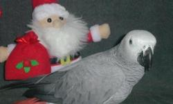 Good Species Talking African Grey Parrots .Lovely Birds Looking for good homes.These birds are well home trained and are very playful with other play mates and they are companion to each other You can reach us directly if you are interested in our birds.