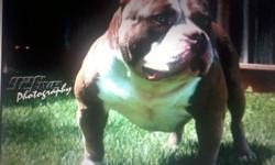 New Stud Coming Soon....BANE aka Meatball Will be avaliable to the public for stud 8/11/13 Stud fee is 2500 Open to stud to Pit bulls, American Bullys, Ukc, Abkc, and Adba. Contact For More Information This breeding was 2 times Dax, both mom and dad are