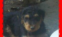 AKC, females, 12 weeks, parents on premises, farm-raised, shots and worming, --