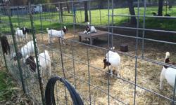 """I have several high percentage Boer does and wethers available (8-12 months). In excellent health and up to date with vaccinations and worming's. Fed """"Bar Ale"""" Mac Goat Pellet and """"Bar Ale"""" Loose Minerals as well as Forage and Alfalfa Hay. Does' could be"""