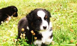 Ready To Go!! Champion Bloodlines! 5- Weeks old Beautiful standard sized Aussie puppies - males and females/ 1-red merle, 2-RED TRI's with amazing Markings and blue and green eyes. 2-black tri?s- Beautiful. AKC registration with amazing AKC, ASCA & NSDR