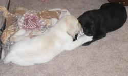 """For Sale To Good Homes"""" 8 WEEK OLD AKC-Pure Breed Lab PUPPIES"""" These Puppies Blood Line Is of Pure Champiomship Quality.. There Great Grand Father is a Westminster Kennel Club World Champion..These Labs are Breed for Service/Guide Dog Sevices.. Not a"""