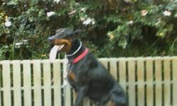 Moving and must part with my beloved Doberman! She is very sweet and a fast learner. She is not spayed and has had one gorgeous litter last year that she mothered perfectly. We had 13 pups and didn't lose any. She is black/tan.