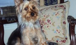 Akc registered 7 month yorkie boy, he is gold and silver. Born May 19,2010. His ears are up, tail docked and dewclaws removed has all the shots already. He is a lovable puppy and loves to go for walks. He is the last of the litter. I don't start selling