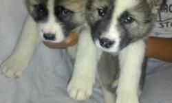 AKC Akita puppies born 11-12-12, 5 females, 3 males, 1st shots, parents on site. For more information please call Dale at --.