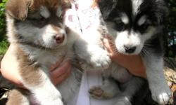 We have gorgeous giant Malamute puppies for sale. Born April 27th, 2011. AKC Registered. Pictures are at 9 weeks old. Red and White, Black and White and Silver and White. Males and Females. Mom is a silver and white that weighs about 135 lbs and Dad is a