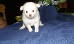 Beautiful ACK and CKC Pomeranian Puppies. 2 Liters with boys and girls. Already had 1st worming. Both parents are onsite.