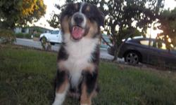 Just adorible black-tri australian shepherd male puppy. He is up to date on shots, worming. Vet removed dew claws, tail docked. Family raised and loved. He has been well socialised with kids, pets and started obiedience training. Walks on leash, sits lays