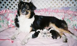 AKC,ASCA, Australian shepherd puppies All colors of gorgeous aussie puppies 2 red merel males 2 black-tri females 1 blue merel male 2 red-tri 1 male 1 female Female is sold All aussie pups have full white manes and beautiful markings Tails docked,dew