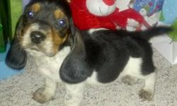 Loveable eight week old Tricolored basset hounds. Great family pet good with kids! AKC papered