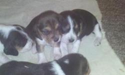 Akc Beagle puppies both parents on site and good hunting dogs $200.00