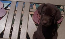Beautiful AKC Chocolate female Labrador Retriever Puppy born on May 25, 2011. There are three chocolate males, three chocolate females and one black female in the litter. They will be microchipped at 8 weeks old. They will be ready for their new homes on
