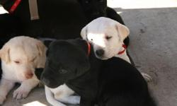 We currently have 4 Black Males and 1 Yellow Male. The puppies are 5wks old now. All of our Labadors come from very strong field hunting and show bred blood lines, mom and dad are both on site. All of our wonderful puppies will come with 1st set of shots