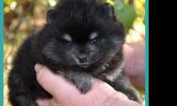This adorable little guy is Abbott. Abbott's details are listed below: Full AKC Registration (Breeding/Showing Rights):$1350.00 No AKC Papers (Pet Only - Neuter Contract):$750.00 Birthdate: November 12, 2012 Sex: Male Birth Weight: 4.9 oz.