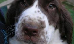 10 week old (born 04/09/11) English Springer Spaniel field puppies. One male left, Black/White. Beautiful markings, great personalities, ready to find good homes. Tails docked/dew claws removed. All immunizations current. Great family pets or potential