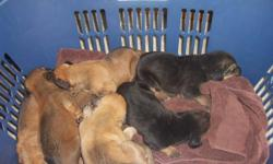 We have 7 AKC Bloodhound puppies for sale. They are up to date on the shots, been de-wormed, weened and ready to go to a good home. They are sweet, loyal, and great with kids. Both parents are on site. For more information call 912-381-1237.