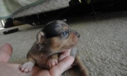 Beautiful healthy babies. born on 5/15/11. I have 2females and one male. They have their dew claws removed. Will be utd on vaccinations when they are ready for their new home.
