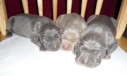 I have raised Champion-line Weimaraners for over 30 years. GEORGIA BLUE BOY has had his dew claws have been removed and tail docked. He is UTD on his shots and wormings including kennel cough. He is well socialized and very gentle. He will be eligible for