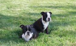 Two 3 month old male Boston Terrier puppies ready for loving families. Veternarian health exam and first two vaccinations. Very social and raised in a family environment. Both parents on site.