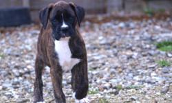 I have 2 female boxer puppies 9 wks old, They are flashy brindle. They are current on their shots & wormings. The tails are docked & dew claws removed. They have been vet ckd & ready to go! These puppies have been raised in our home. They are very loving