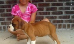 Litter of AKC Boxer puppies, all fawn, male and female available. Tails docked, dew-claws removed,wormings and shots kept utd, socialized well with children. Great temperaments.