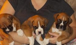 AKC Boxer Puppies ready for new homes on January 1st. Tails docked, dew claws clipped. First shots and wormed. Mom and dad on site. Not an outside dog. They like to be inside warm and dry with lovng person. taking deposits to hold puppy until 1/1/2013.