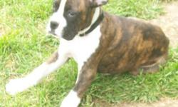 we have 4 boxer puppies looking for a new home. They have had 2 sets of shots, have had their 1st deworming, dew clawed and have tails docked.